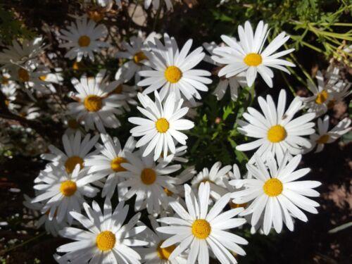 Leucanthemum Maximum 400 Graines Fraîches Marguerite Géante Blanc