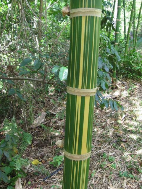 Tawian Giant Bamboo. Edible shoots.  (Dendrocalamus latiflorus ) 20  Seeds