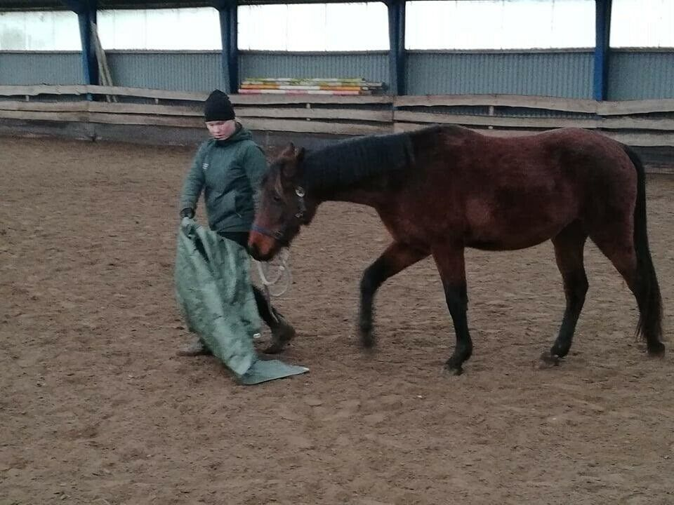 Dansk Sports Pony, vallak, 4 år