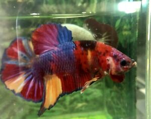 "Betta Fish Fancy Nemo Giant Strong Body Size 2"" BO high Quality From Indonesia"
