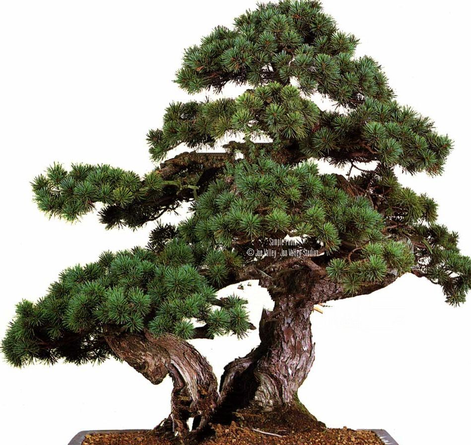 25 Jack Pine Bonsai Tree Seed Pack Pinus Banksiana For Sale Online Ebay