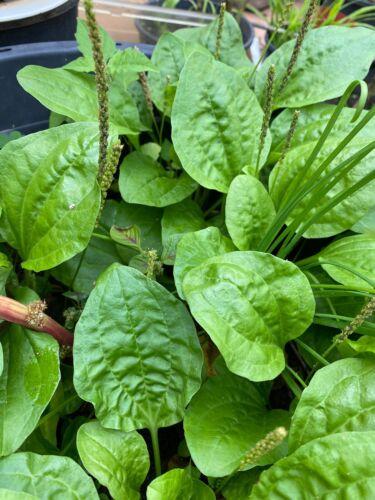White man's foot 400 Seeds of Broadleaf plantain Salad Leaves Plantago