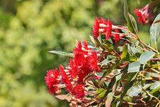 exotische Blüten Rarität Saatgut seltene Garten Balkon Pflanze ROTER EUKALYPTUS