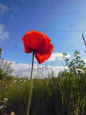 NATURE POSTER AD869 Photo Picture Poster Print Art A0 to A4 RED POPPY MEADOW