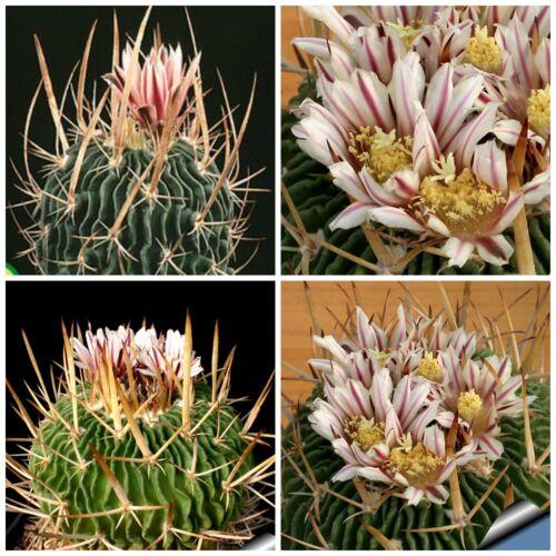 10 semi di Echinofossulocactus  kellerianus piante grasse,seeds cactus