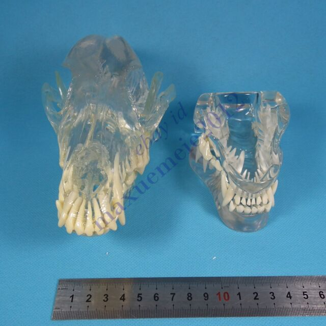 Hs Canine Skull Jaw Teeth Study Model Clear Veterinary Anatomy Dog