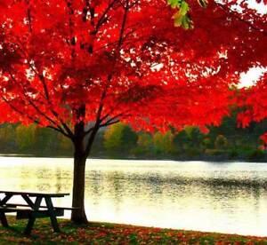 Acer Rubrum - Acero Rosso, 10 Semi + Omaggio Svcw2nyo-10035750-503702726