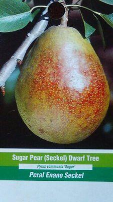 Trend Mark 4'-5' Sugar Pear (seckel) Dwarf Tree New Plant Healthy Fruit Trees Pears Plants
