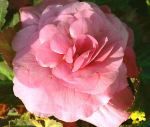BEGONIA-TUBEROUS-DOUBLE-SALMON-PINK-Begonia-Tuberosa-200-Bulk-Seeds