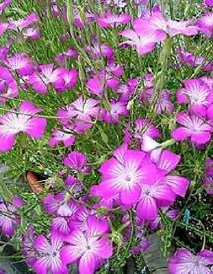 50 MILAS ROSE CORN COCKLE Agrostemma Githago Pink Flower Seeds + Gift & Comb S/H