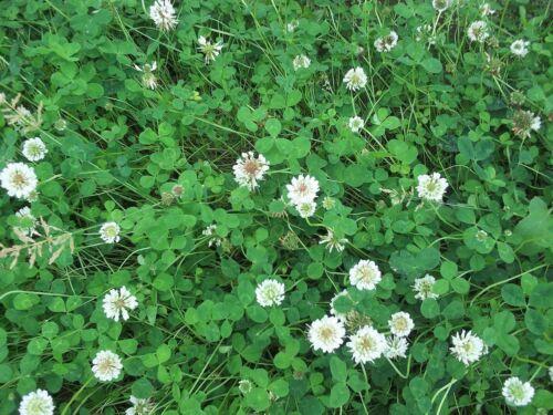 1500 graines Fleur sauvage-wild white clover-trisodique repens