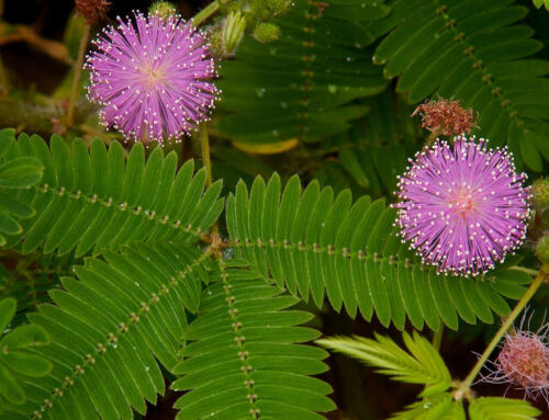 Mimosa pudica Select Quantity 30 to 10,000 Fresh Seeds Sensitive Plant