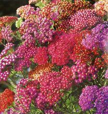 Flower Seed:  Summer Berries Achillea 40 Seeds  Fresh Seed   FREE SHIP