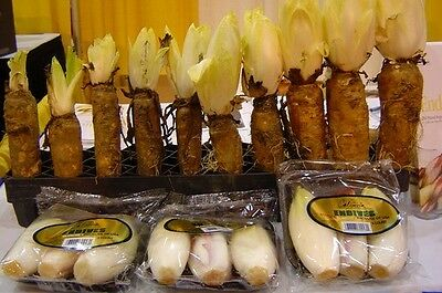 CHICORY * 100 SEEDS * FRENCH ENDIVE * WITLOOF GOURMET * SALADS*COFFEE FLAVORING*