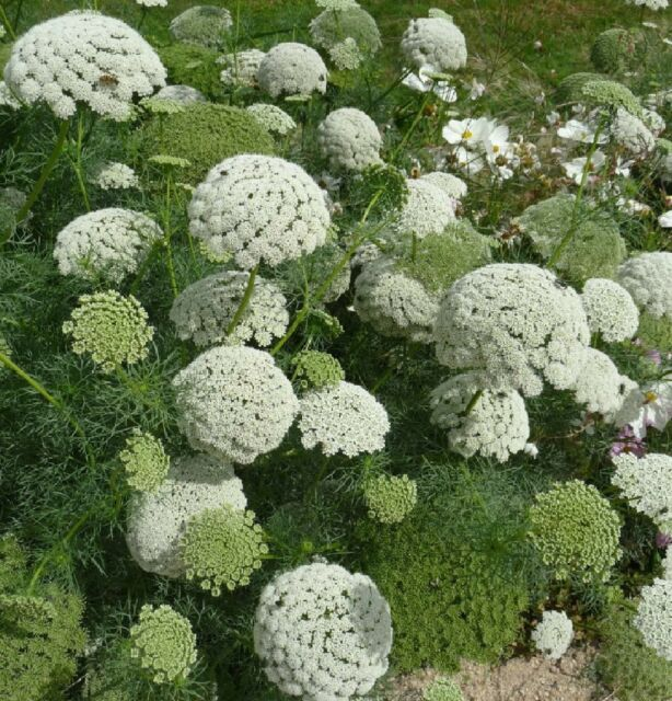 LACEFLOWER * GREEN MIST * Ammi visnaga * SUPERB IN FRESH ARRANGEMENTS * SEEDS