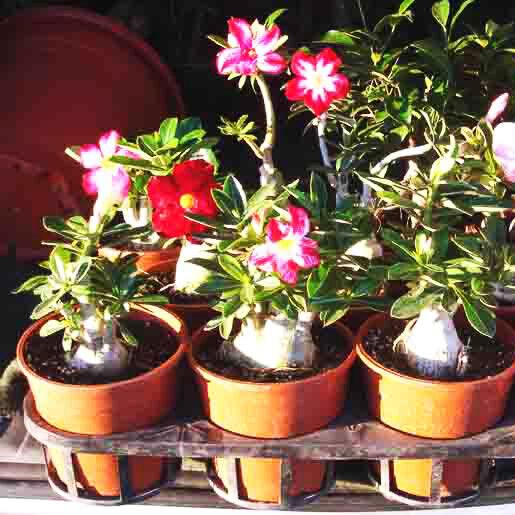 Grafted Adenium Obesum Desert Rose Plants Double Flower Easy Care