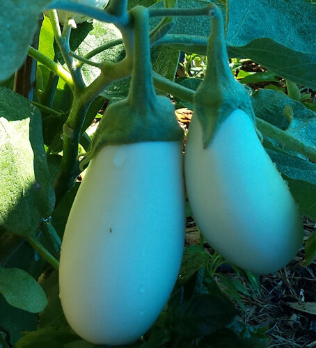 French Eggplant White Casper - 100 Seeds -A Delicious & Very Productive Eggplant