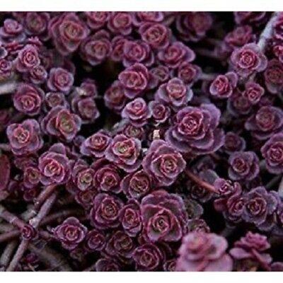 100 Seeds Sedum BOGO 50/% off SALE Purple Carpet
