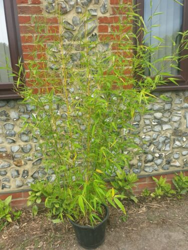 Bamboo Bisetti bissetti 6ft including 14l pot evergreen hedge screen fence deliv
