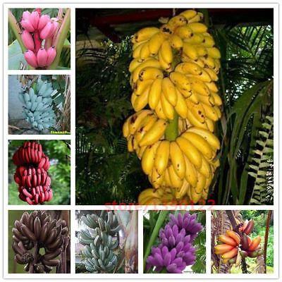 200pcs rare banana seeds bonsai fruit seeds 11 colours to choose Organic Heirloo