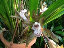 Cymbidium whiteae Orchidee Naturform Species selten Jungpflanze