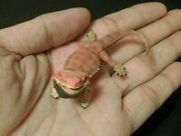 RARE Kaiyodo Choco Q Pet Animal 4 Orange Bearded Dragon Lizard A Figure