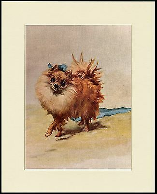 POMERANIAN LITTLE DOG CHARMING PRINT MOUNTED READY TO FRAME
