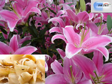 DR T&T™ 100g dry herb Bai He (Lily Bulb), Bulbus Lilii