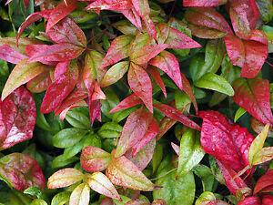 Der Heilige Bambus Farbt Seine Blatter Im Herbst Wunderschon Rot