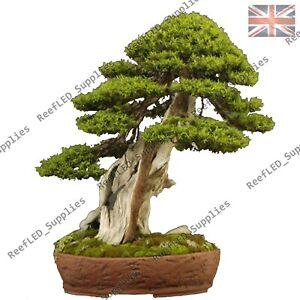 Rare Japanese Larch Bonsai Larix Kaempferi Gmalinii Tree 10 Viable Seeds Uk Ebay