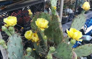 Opuntia-engelmannii-Bright-Lemon-Flowers-Cold-Hardy-Whole-Plant-85