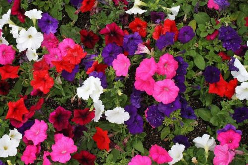 200 seeds Bedding Plant Fairy Flower Seed Petunia Colorama Formula Mixed Approx