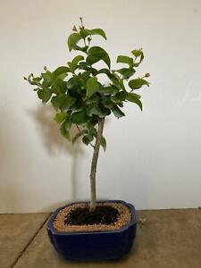 Crepe Myrtle Red Bonsai Tree 785696483121 Ebay