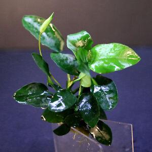 Water-Plants-Anubias-barteri-var-nana-x120-160-leaves-Live-Fish-Tank-Plant-kit
