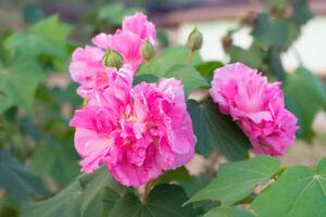 Rosenmalve trägt im Sommer viele schöne duftende Blüten - Duftblumen Samen.