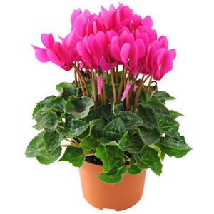 Details about 10 pcs Cyclamen (Cyclamen Persicum) Perennial tuber plant potted flower seeds  sc 1 st  eBay & (Cyclamen Persicum) Perennial tuber plant potted flower seeds