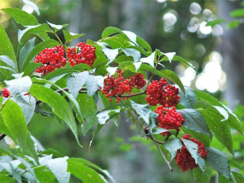 100 RED ELDERBERRY Sambucus Racemosa Mountain Elder Tree Shrub Fruit Berry Seeds