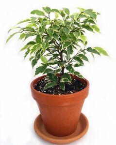 Ficus Plant Exotic Indoor Tree Gardens Starlight Weeping Fig 4 ...