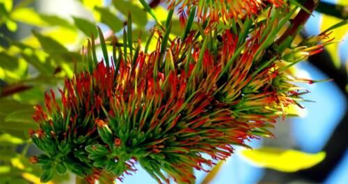 Pink Cedar Tree seeds 100 Graines Acrocarpus fraxinifolius