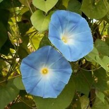 Blue Flower Heavenly Morning Glory - 3000 Seeds - UNTREATED/FRESH Garden