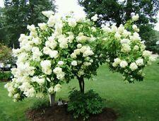 Tree Hydrangea! Hardy fast growing shrub/tree! Big flowers! Showy! Fresh seeds