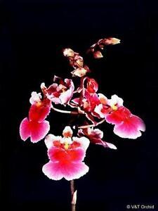 Rare-orchid-hybrid-seedling-Oncidium-robsan