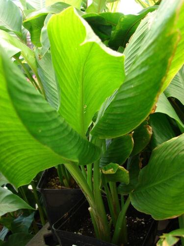 ~TURMERIC~ Curcuma longa /'OLENA Edible SPICE Orange Ginger BareRoot 3 Rhizomes