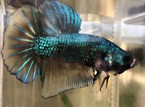 "Betta Fish Giant Mustard Gas Green Samurai Size 2"" BO"