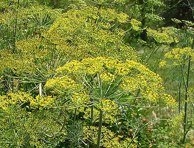 DILL *Anethum graveolens * LONG ISLAND MAMMOTH * ATTRACTS BUTTERFLIES * SEED