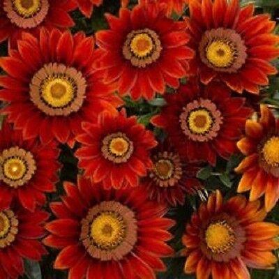 RESEEDING ANNUAL GAZANIA ORANGE CREAM FLOWER SEEDS DROUGHT TOLERANT 30
