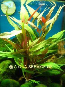 1-Bund-Rosafarbenes-Papageienblatt-Alternanthera-reineckii-f-Aquarium