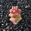 Monadenium-ritchiei-ssp-nyambense-paniculatus-Succulent-plants-potted-Plants thumbnail 7