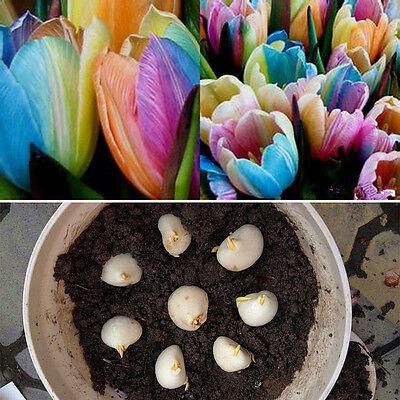 5Pcs world rare rainbow tulip bulbs seeds The most beautiful flower plant seeds