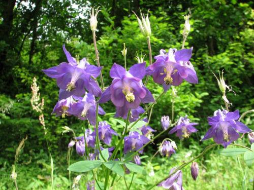 Zier und Heilpflanze Gemeine Akelei 60 Samen